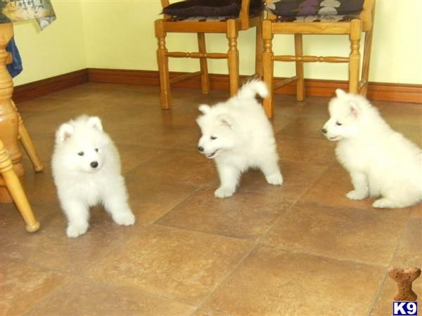 Puppies For Sale In Texas Pomsky Pomeranian Somoyed Siberian Husky