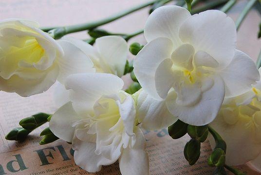 フリージアの花言葉は 純情 Hermes手帳に書き込んだ Flower Essence 花言葉 誕生花 フラワー