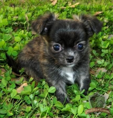 Tigger The Male Chihuahua Tennessee Chihuahua Breeders