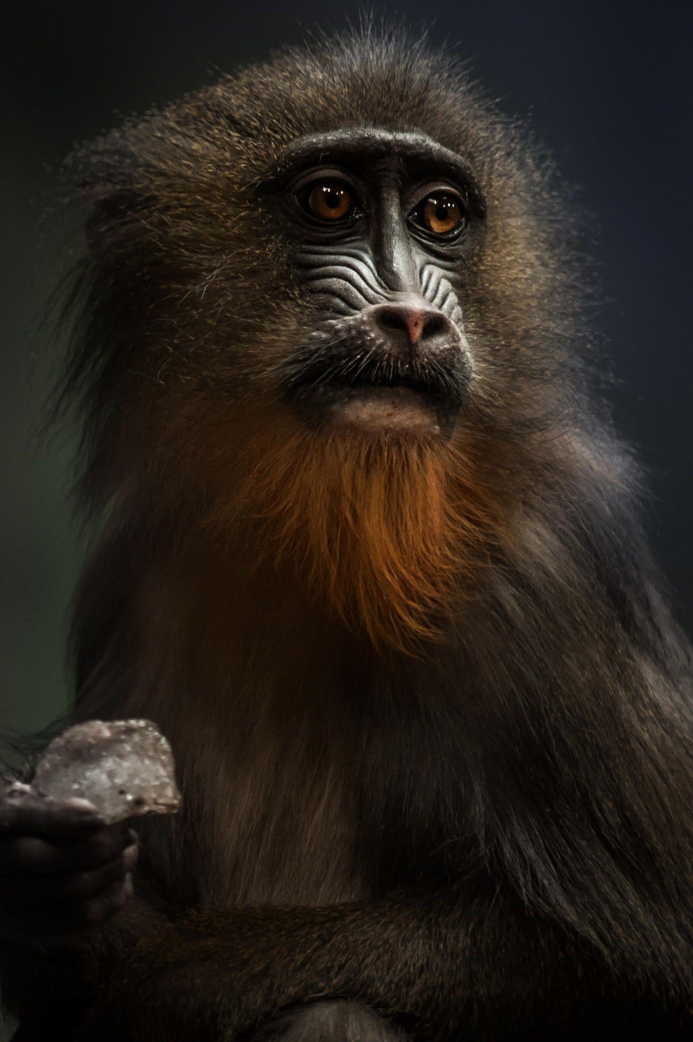 *mr_monkey by Michael Mareyen on 500px Rare animals