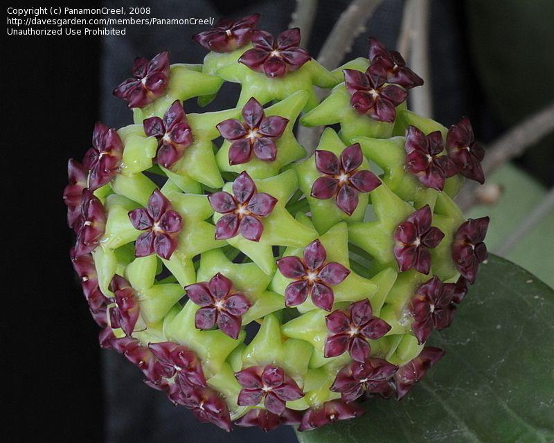 Hoya House Plants For Sale Picture 7 Of Hoya Wax