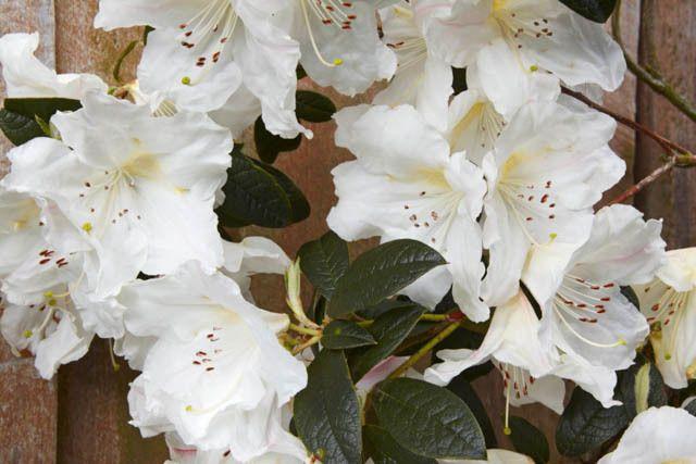 Rhododendron fragrantissimum fragrantissimum rhododendron rhododendron fragrantissimum fragrantissimum rhododendron early midseason rhododendron fragrant rhododendron white flowering shrubsevergreen mightylinksfo