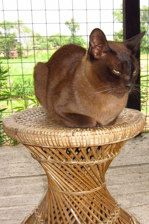 Burmese Cat Breed Burmese Cat Most Popular Cat Breeds Cool Cat Trees