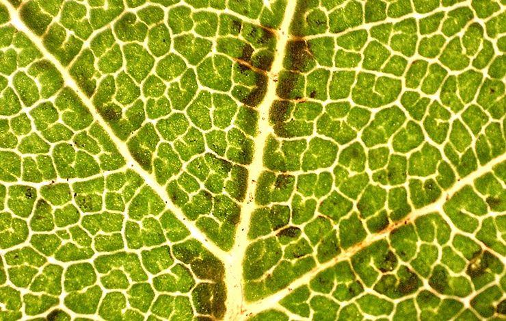 Image result for oak leaf