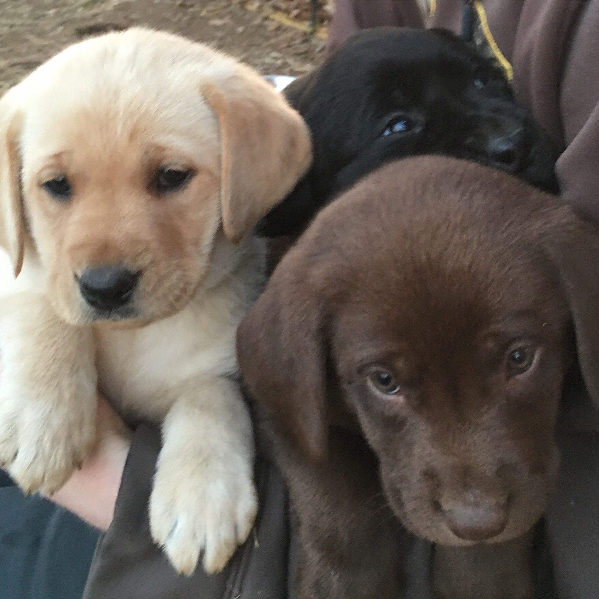 Chocolate black and yellow puppies at windy hill