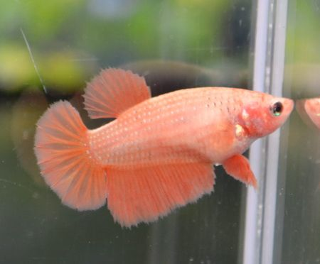 Fwbettashm1362785695 Orange Hm Female Patsayawan Betta Fish Tank Betta Betta Fish