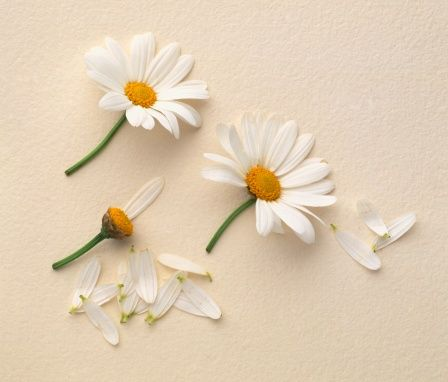 Daisy flower heads with some petals torn off