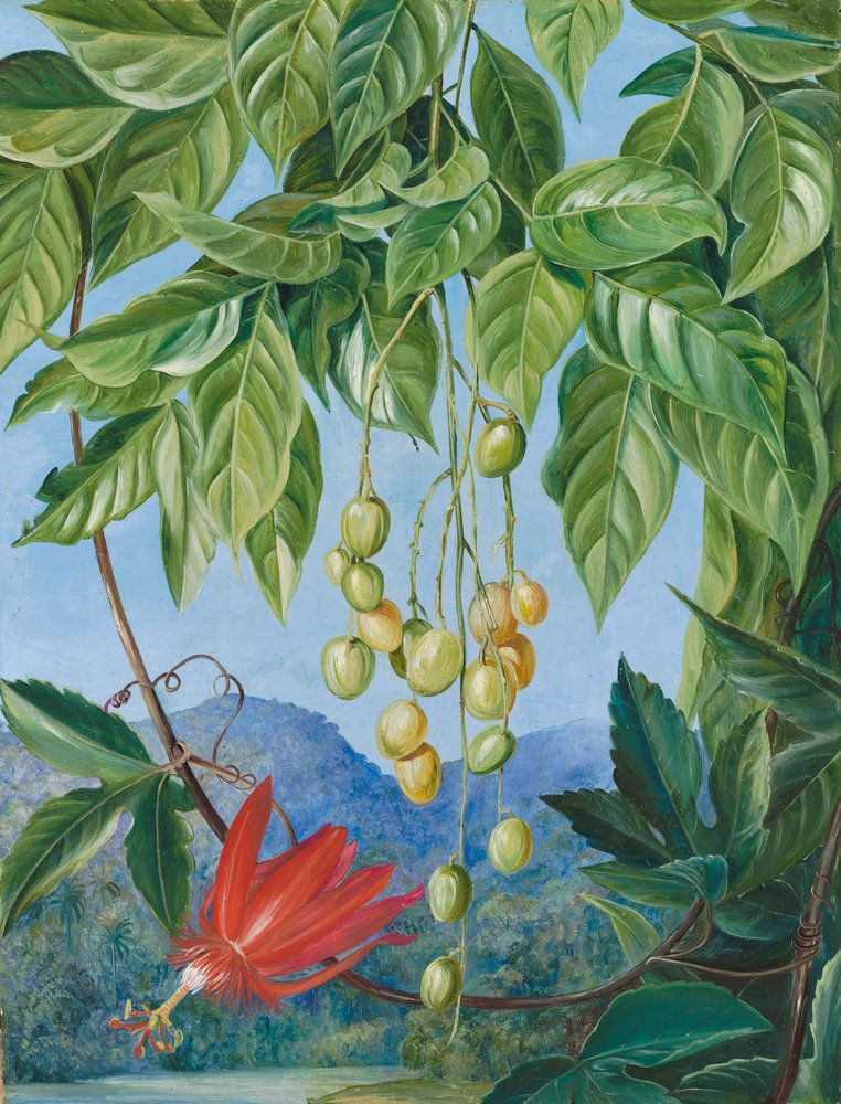 223. Foliage and Fruit of the Wampee and American Passion Flower. Prints by Marianne North | Magnolia Box