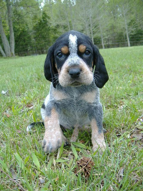 Bluetick Coonhound Dog Grand Bleu De Gascogne Hounds Dogs