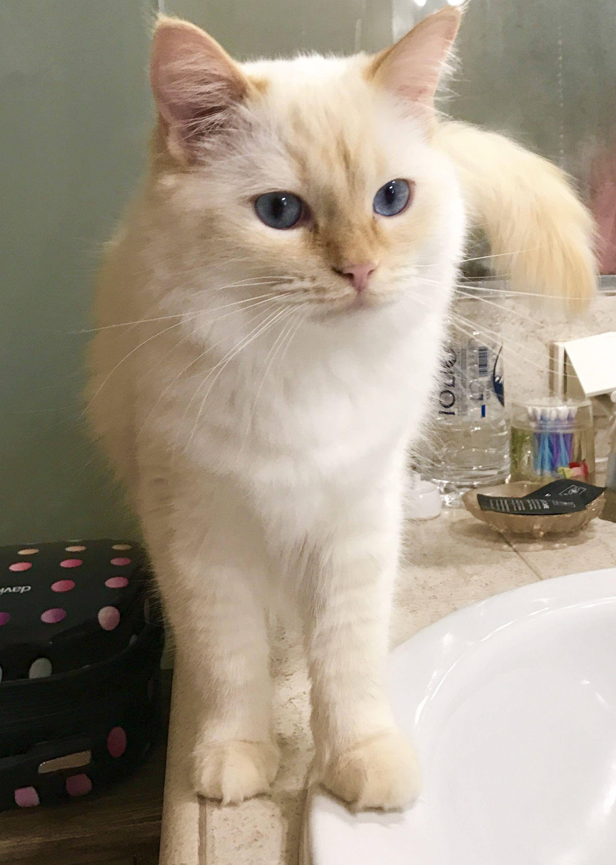 Persa Flame Point Ragdoll Hypoallergeniccatsbreeds Ragdoll Cat Cat Breeds Cats