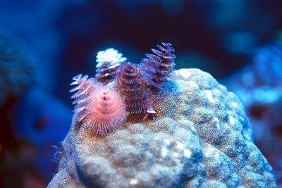 Christmas Tree Worms Animals Worms Fish Pet