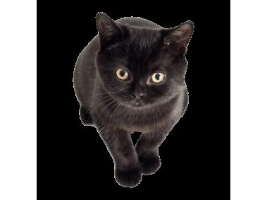 Black Kitten Kitten Black Kitten Overlays Picsart