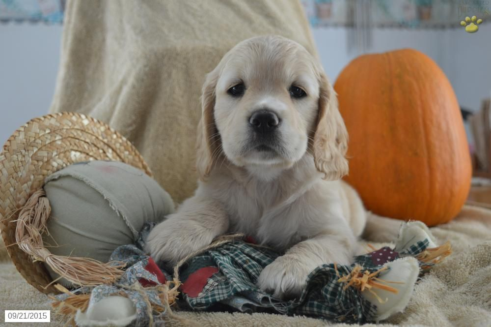Cockapoo puppy for sale in ohio with images cockapoo