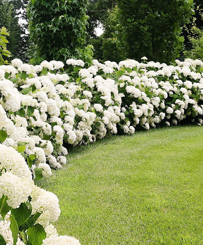 Hydrangea U0027Strong Annabelleu0027 | Trees And Shrubs From Bakker Spalding Garden  Company