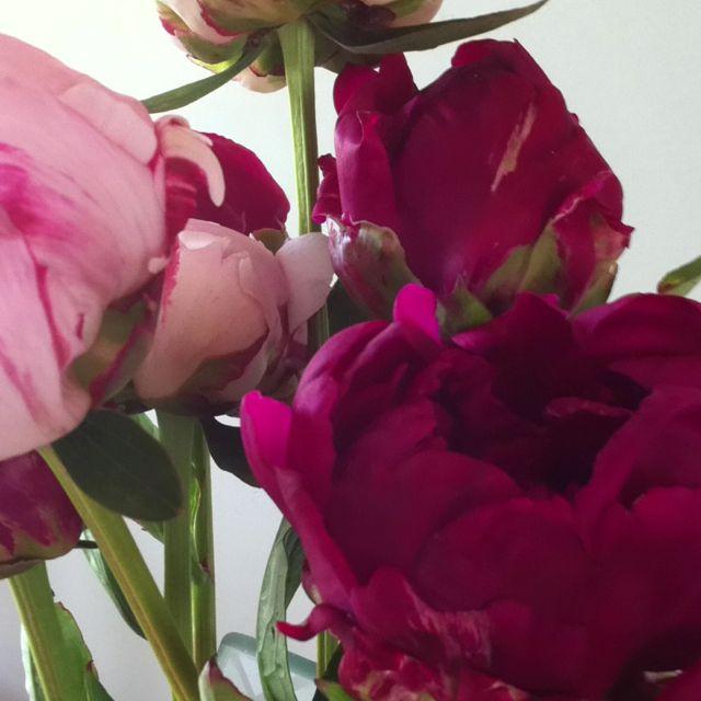 Pivoine à planter   Pivoine, Fleurs, Jardins