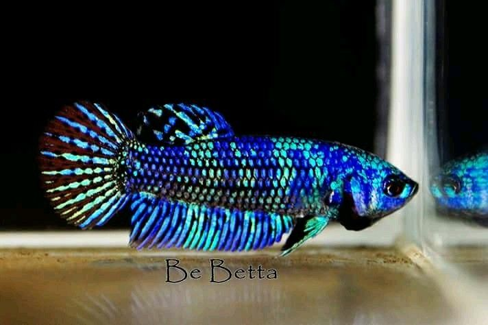 Blue Hybrid Alien Avatar Be Betta Ikan Akuarium Ikan Hewan