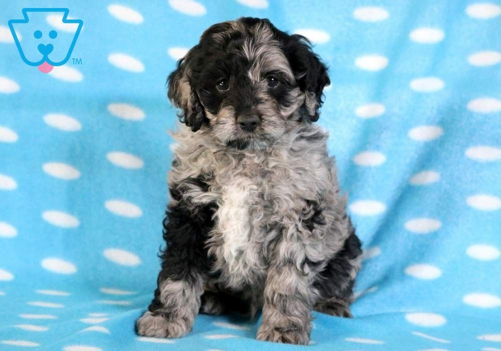 Hunter Puppies Cockapoo Puppies Cockapoo Puppies For Sale