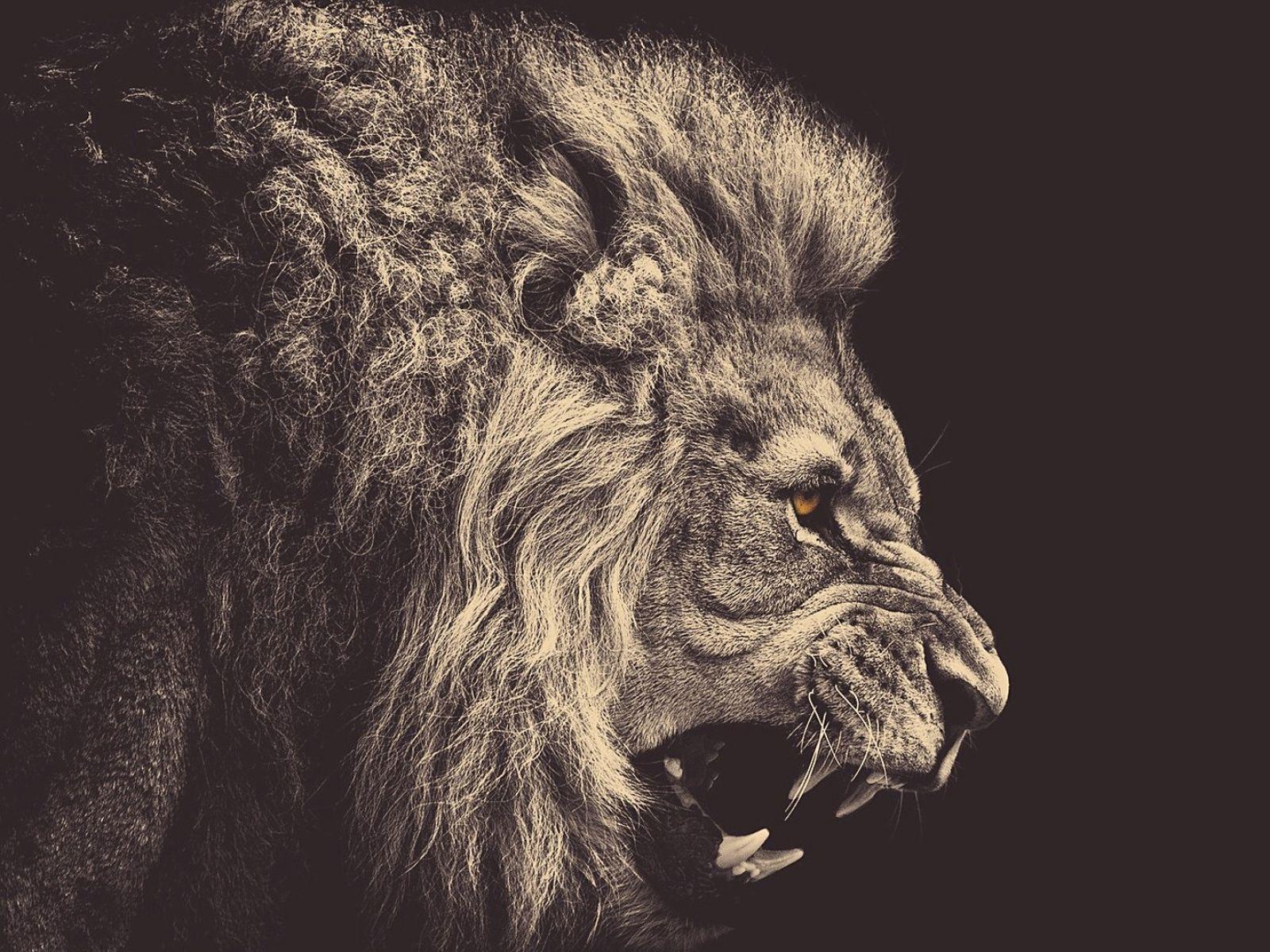 Black Dark Yellow Animals King Eyes Angry Lions Roar 1920x1080 Wallpaper Art HD