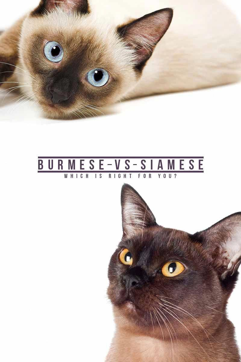 Burmese Vs Siamese The Happy Cat Site Helps You Choose Cat Site Cat Breeds Cats Kittens