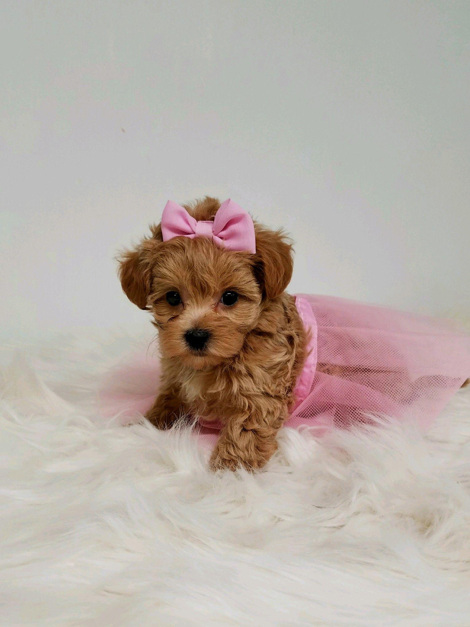 Maltipoo hollywoodpuppypalace dog adoption cute puppies