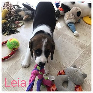 Virginia Beach Va Beagle Feist Mix Meet Leia A Puppy For