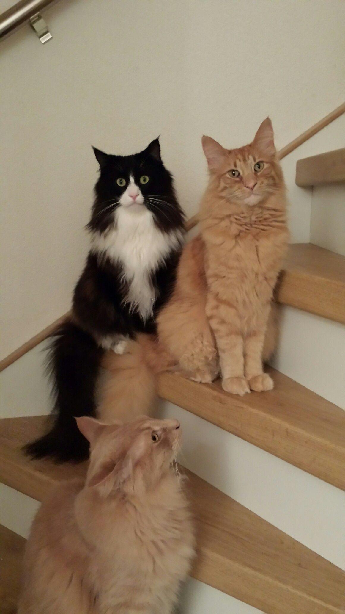 Pin by bennycat888 on CAT/KITTEN GROUP LOVE Norwegian