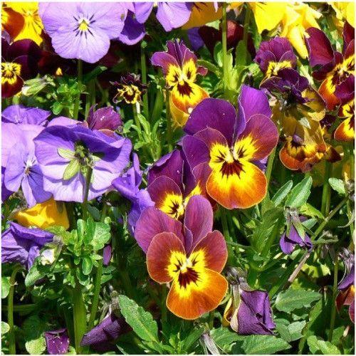 Bambini Viola Seeds Viola Cornuta Flower Seeds Edible Garden Pansies