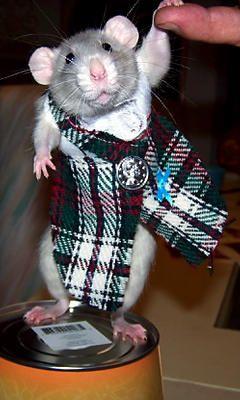 Scottish Rattie