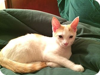Cleveland Oh Domestic Shorthair Meet Harry A Kitten For