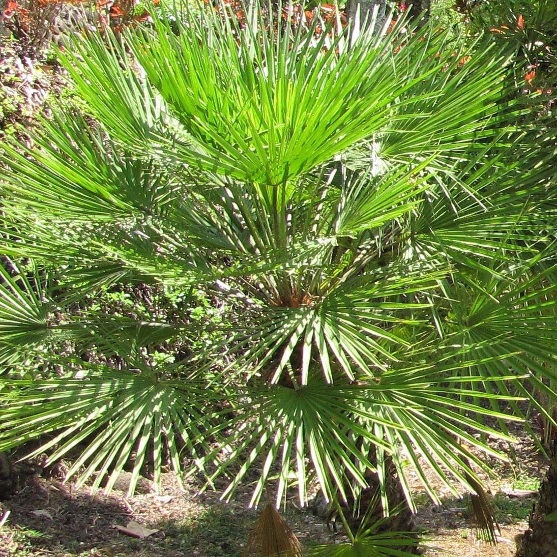 Chamaerops Humilis Palmier Eventail Palmier Nain De