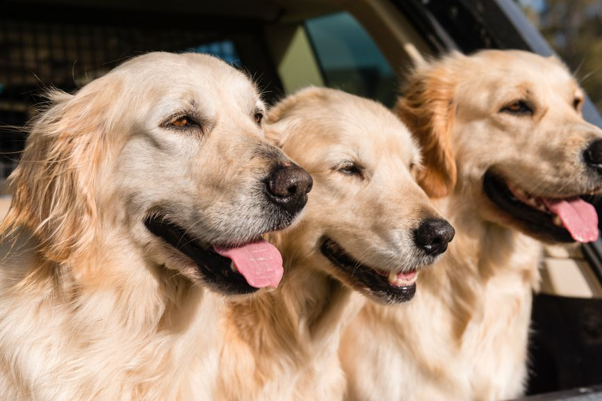 The Pros And Cons Of Golden Retrievers Popular Dog Breeds