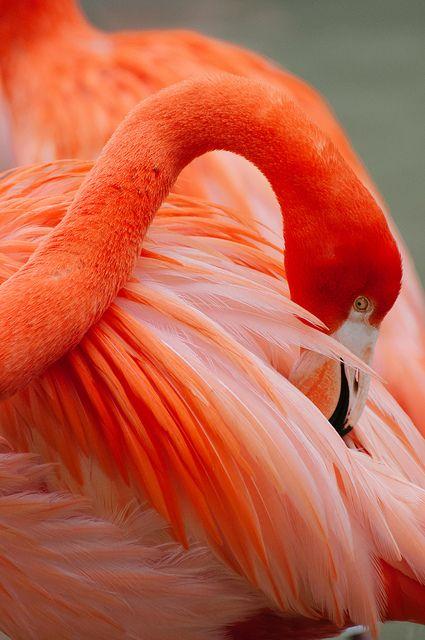caribbean flamingo by Sam Scholes on Flickr.