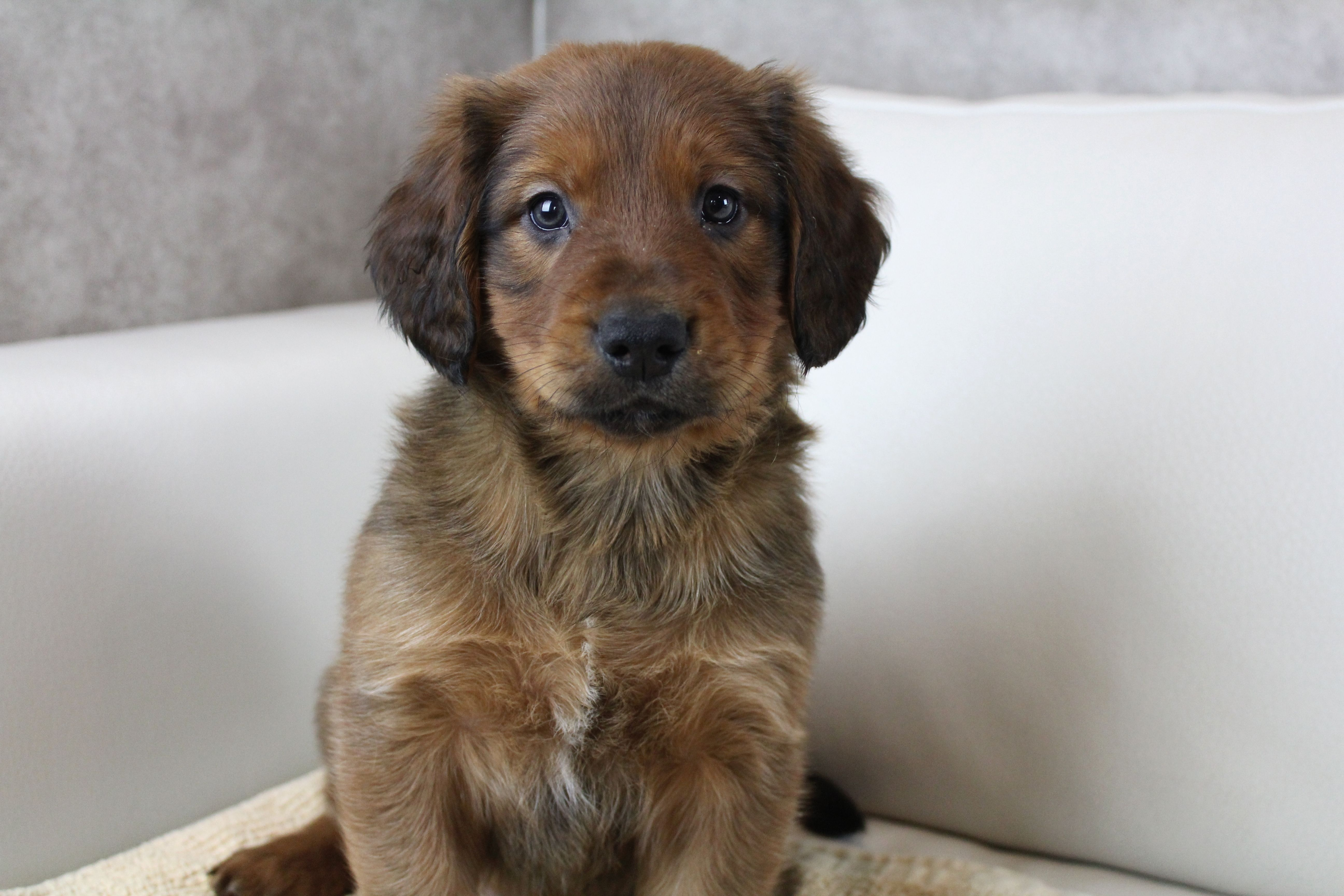 Adopt rusty on petfinder golden retriever rescue dogs