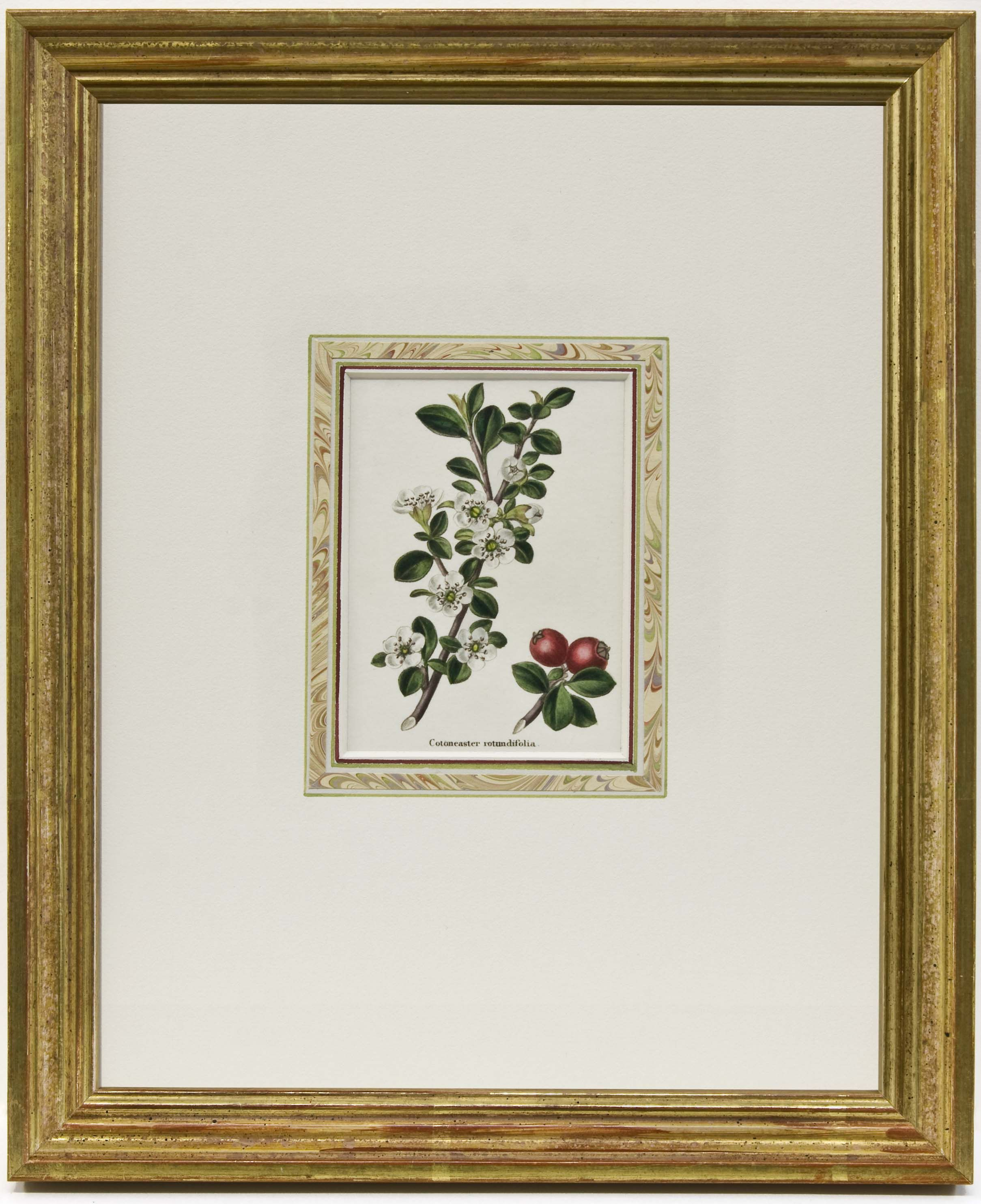Cotoncaster Rotundifolia Benjamin Maund C 1840 Hand Colored Steel Engraving In A Pee Gold Over Red Clay Frame Encased With Marbled Paper And French