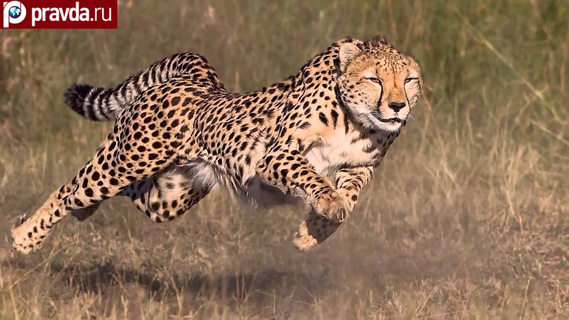 Running Cheetahs Spend Over 75 Of Their Time Off The Ground So