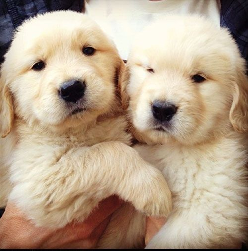 Two Labrador Retriever Fluffy And Cute Puppies Click On