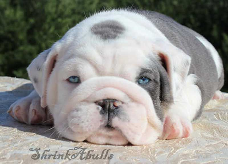 White And Lilac English Bulldog English Bulldog Puppies