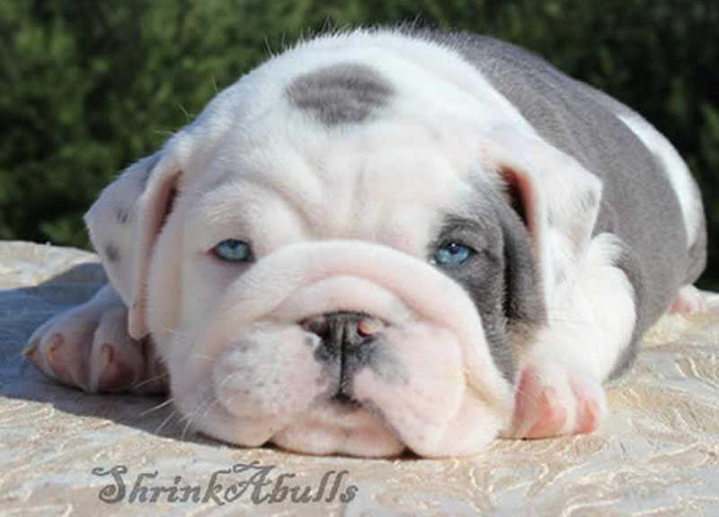 White And Lilac English Bulldog Bulldog Puppies Bulldog English Bulldog Puppies