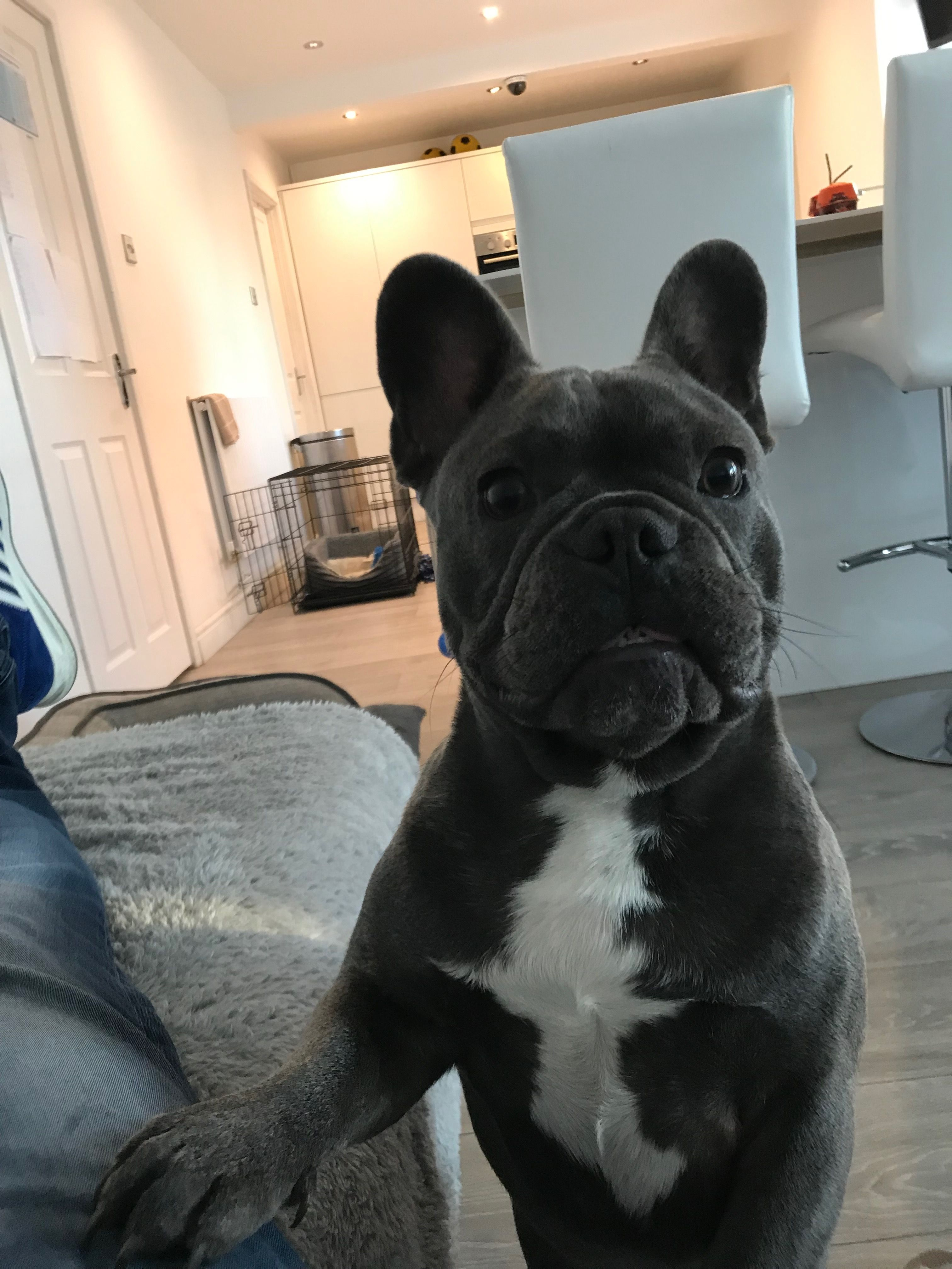 Dad come on lets play french bulldog bulldog puppies