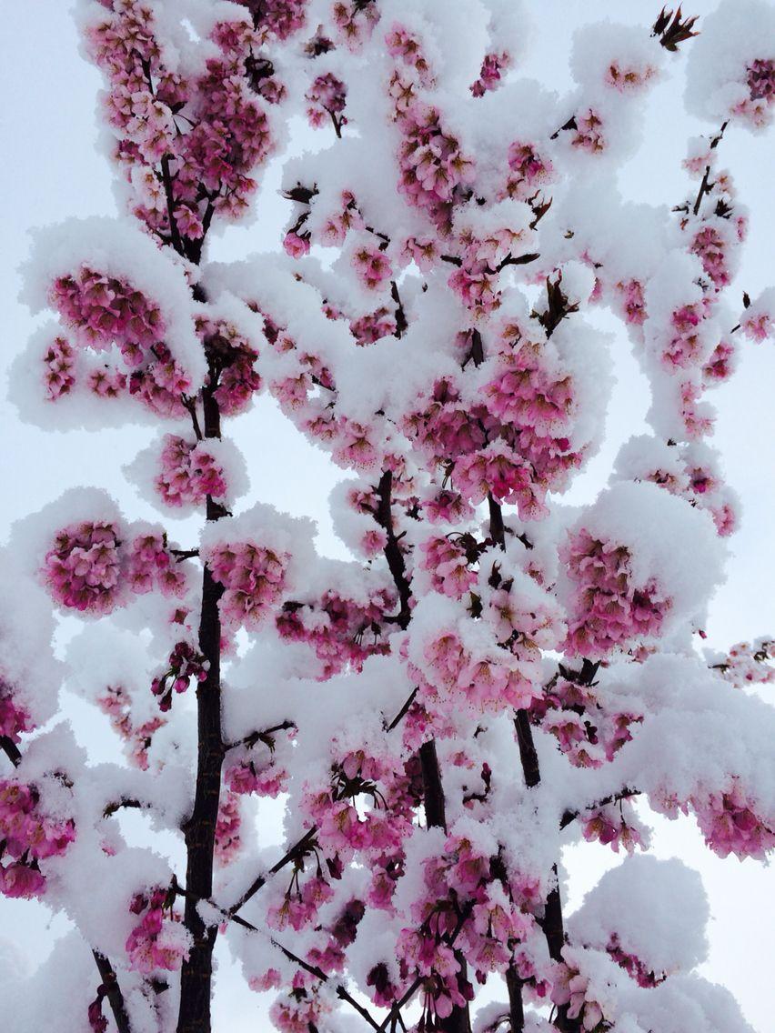 Sakura V Snegu Rose Flower Wallpaper Cherry Blossom Flower Painting