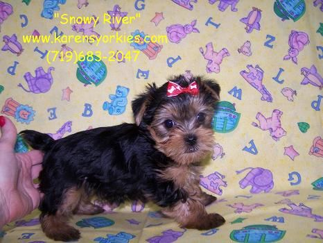 Teacup Yorkie Puppy For Sale In Colorado Springs Co Yorkie Puppy For Sale Teacup Yorkie Puppy Yorkie Puppy