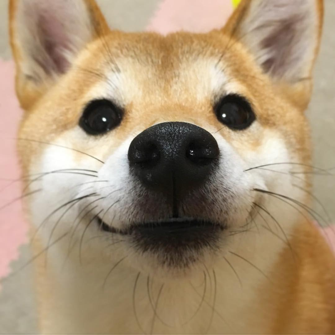 Dog Dogs Shiba Shibainu Shibas Cutedog Yumohiyo Shiba Inu Cute Animals Cute Dogs