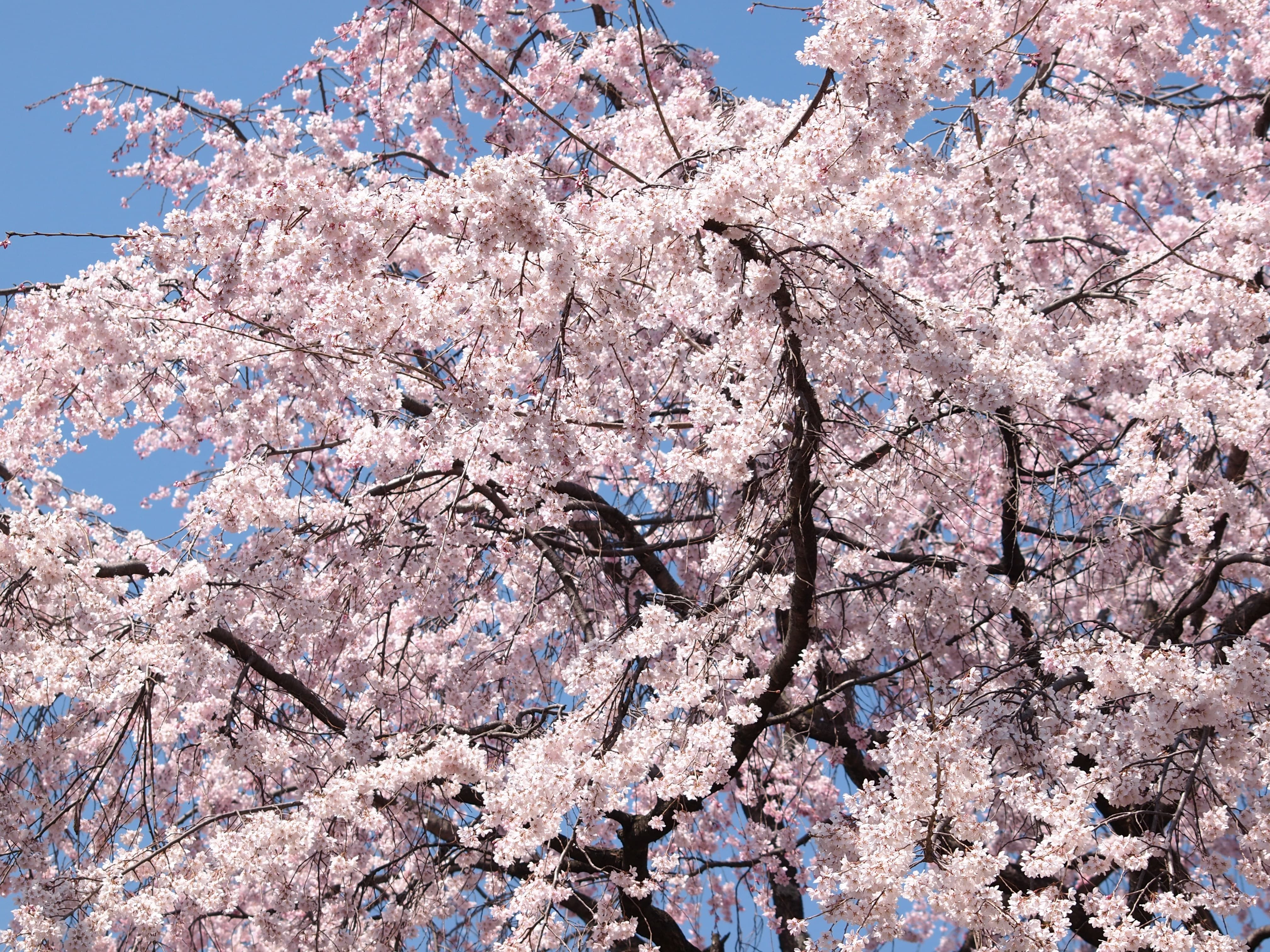 Tips For The National Cherry Blossom Festival In Washington D C Cherry Blossom Festival Cherry Blossom Washington Dc Travel