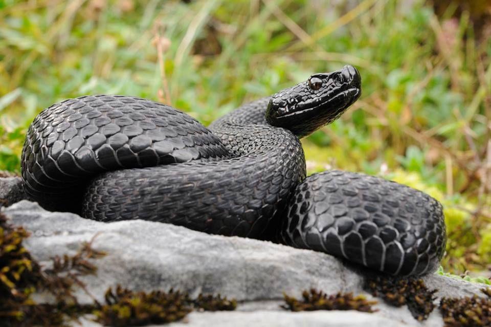 Melanistic Alp Viper Vipera Aspis Atra Serpent Snake Viper Melanistic