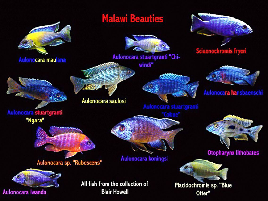 Malawi beauties african cichlid obsession pinterest for Fish tank fish types