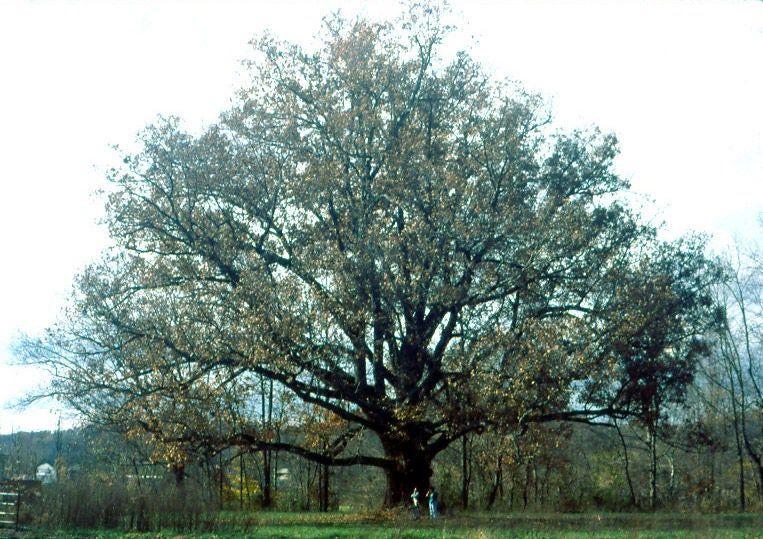 Apple cider press with grinder white oak tree oak tree
