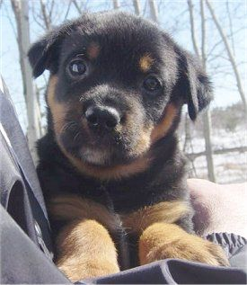 Rottweiler Australian Cattle Dog Hybrid Puppy At 6 Weeks Old
