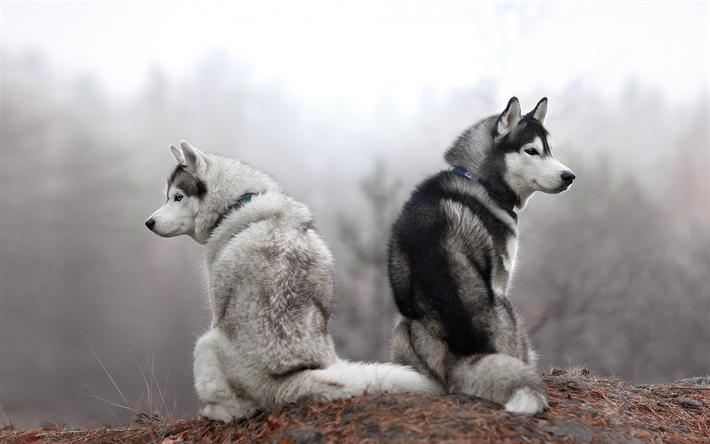 Download Wallpapers Husky Beautiful Dogs White Husky Gray Husky Forest Autumn Dogs Beautiful Dogs White Husky Haski Dog