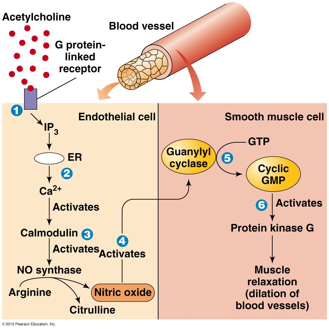 nitric oxide signal transduction pathway - google search | stuff to