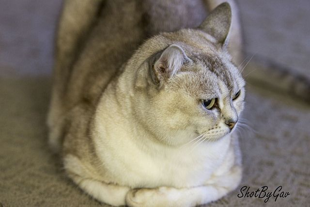 Burmilla Cat Colors | Therefore, Burmilla cat will certainly be more and more popular, not ...